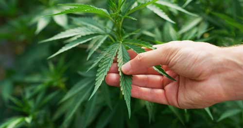 Holistic CBD treatment for pain and inflammation