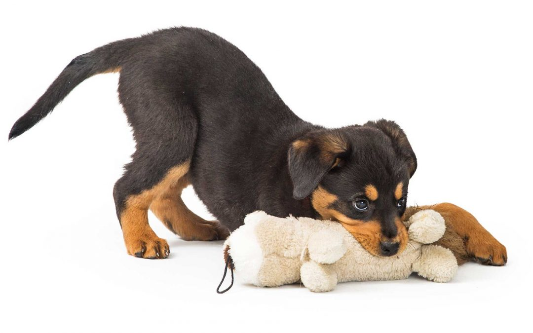 CBD for Puppies: How to Care for Your Teething Puppy