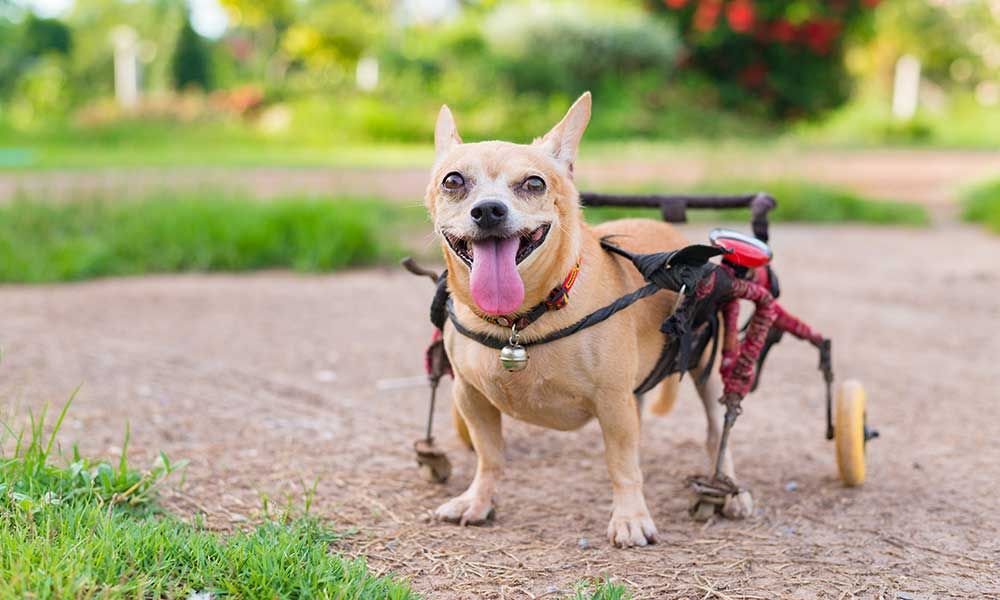 How CBD can help disabled dogs?