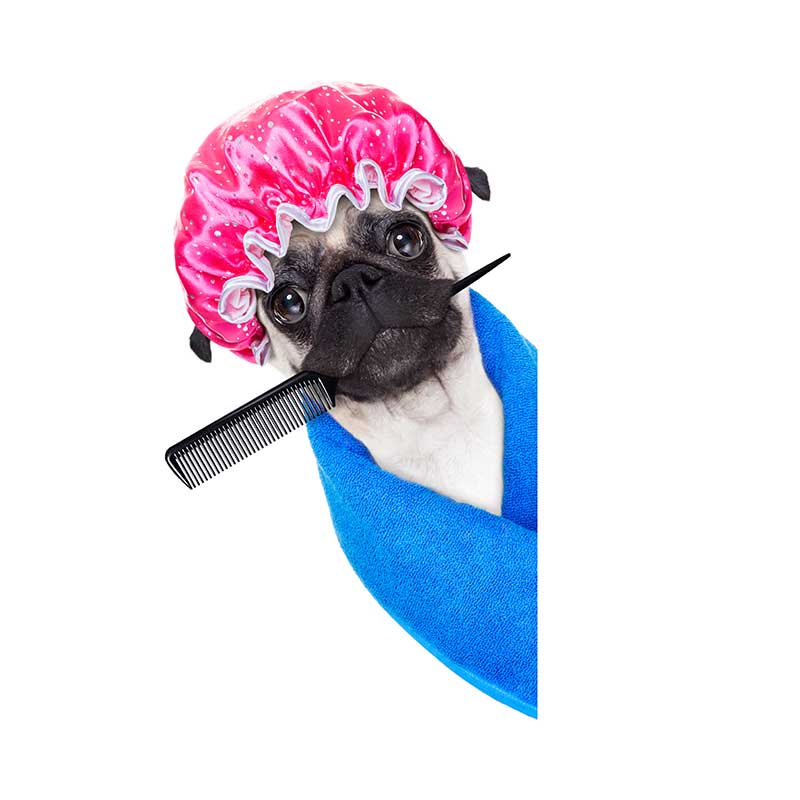 Pug Health Problems and Grooming Tips