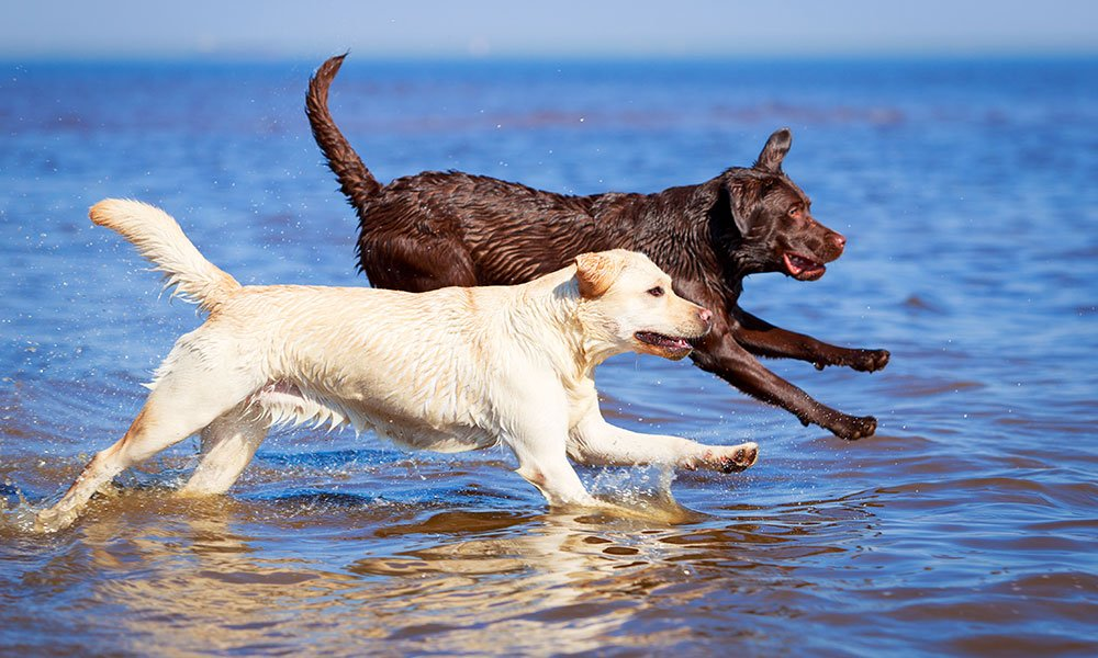The History of Labrador Retrievers