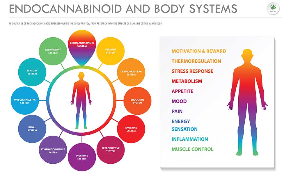 The Endocannabinoid System: ECS And Its Effects