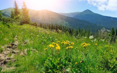 What is Arnica Montana Flower Extract?